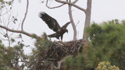 A bald eagle chick learning how to fly.