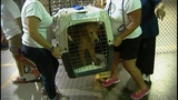 Rescue group brings more golden retrievers from Turkey_7478325