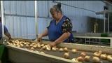 Vidalia onion crop smaller than usual_7610954