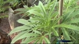 Channel 2 tours Colorado lab that creates medical marijuana oil