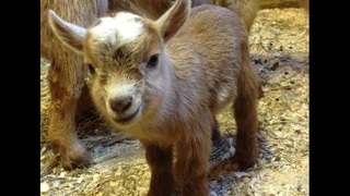 Freebies this week: Greet goats, bowling, museum entry