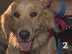 Adopt a Golden Atlanta rescues golden retrievers