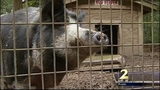 Neighbors fed up with wild pigs in DeKalb