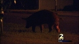 Search continues for DeKalb wild hogs