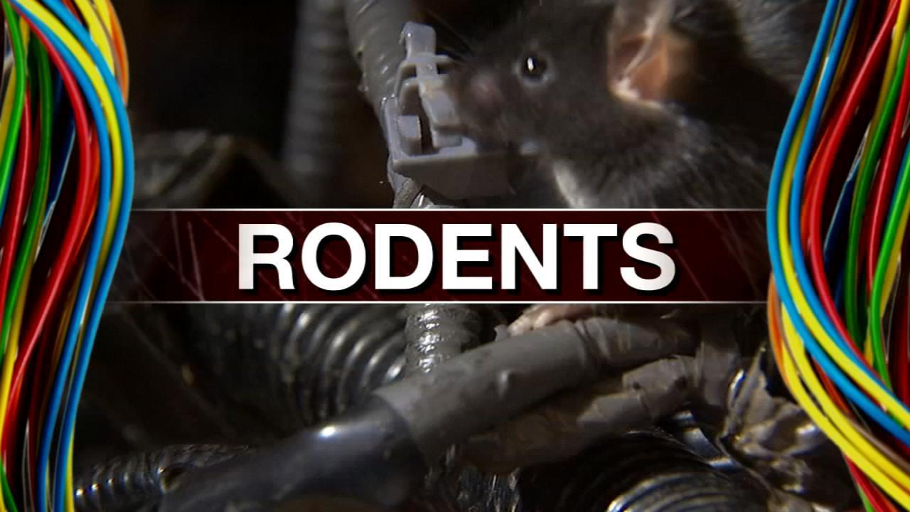 PROTECT YOUR CAR: Rodents eating wires in newer vehicles | WSB-TV