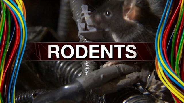 rodents3_1461674580896_4007253_ver1.0_640_360 protect your car rodents eating wires in newer vehicles wsb tv