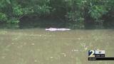 Neighbors surprised by gator in pond