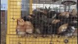 State investigating fair vendors illegally selling baby chicks, pigs