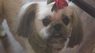 Woman pleads to have stolen Shih Tzu returned