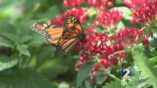 Chattahoochee Nature Center offers butterfly exhibit