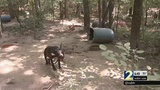 Police Chief says there's one obstacle to find new homes for dogs found chained to trees