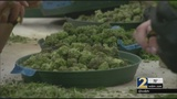 Push to ease punishment for marijuana will get a vote