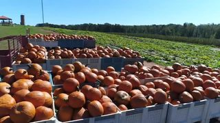 Despite tough weather conditions, farmers say pumpkins are bigger and better this year