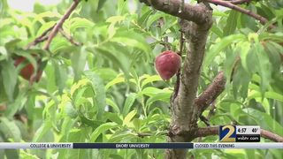 Georgia peach growers applauding freezing weather