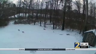 Pack of coyotes captured on video in Cobb County