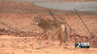 Georgia Coyote Challenge kicks off, but not without its controversy