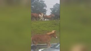 Horses running on Atlanta highway block traffic (VIDEO)