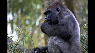 Zoo Atlanta prepares to say farewell to three bachelor gorillas