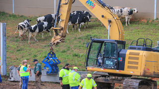 10 cows die in I-75 crash that closed lanes for hours