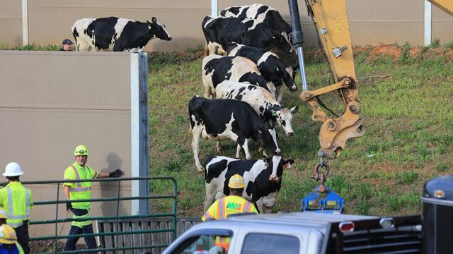 PETA plans billboard to honor 10 cows killed in I-75 crash