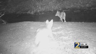 Large coyote spotted in Gwinnett neighborhood in broad daylight