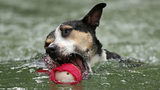 "A dog from Australia jumps into a pool of water as he competes in the Speed Retrieve at the ""Common Woof Games"" during the 2018 Melbourne Dog Lovers Show on May 4, 2018 in Melbourne, Australia. (Photo by Scott Barbour/Getty Images)"