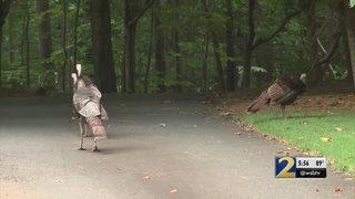 Neighbors say flock of wild turkeys are taking over their community