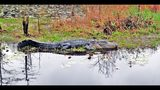 Georgia's vast Okefenokee Swamp is filled with alligators like this one in the swamp's Chesser Prairie area. CONTRIBUTED BY CHARLES SEABROOK)