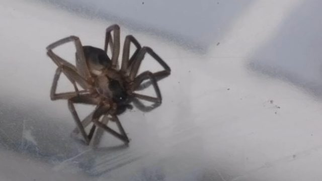 we should just burn it down 30 brown recluse spiders found in