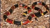 """To identify a highly venomous Eastern Coral Snake, it can be helpful to remember the old saying """"Red touches black, venom lack; red touches yellow, kills a fellow."""" CONTRIBUTED BY SRELHERP.UGA.EDU"""