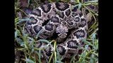 The Eastern Diamondback Rattlesnake is the largest of the rattlesnake species, according to the University of Georgia. They are active all summer long, especially in the morning and evening. CONTRIBUTED BY SRELHERP.UGA.EDU