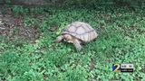Pair of runaway tortoises stun people in a Buford neighborhood