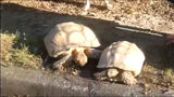 Pair of runaway tortoises stun neighbors in a Buford neighborhood