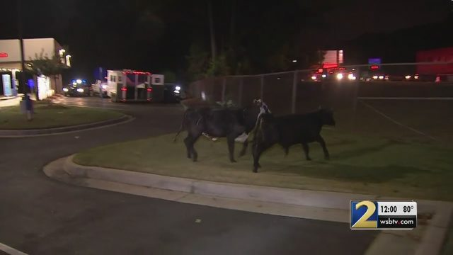 COWS ON INTERSTATE: Up to 70 cows possibly missing after cattle