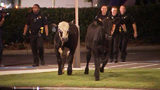 Cows being wrangled by police early Monday morning in Cobb County
