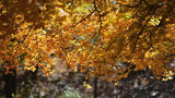 """October 11, 2018 (Costfoto), Tongliao, Inner Mongolia, China. In the golden autumn season, maple red mountains, maple, autumn scenery, wearing beautiful clothes, Horqin folk culture diversified experience, all in the """"maple"""" graceful Udan Tara."""