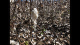 Fields of cotton in south Georgia were heavily damaged during Hurricane Michael