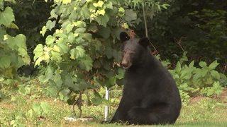 State develops 10-year plan to help with bear problem in metro Atlanta