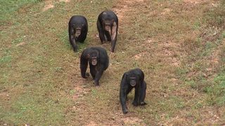 Dozens of endangered chimpanzees used in lab tests find new home in Georgia