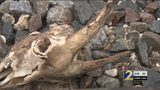 Dead chickens and raw hamburger – what are they doing on local railroad tracks?