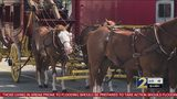 Whistleblower says iconic Wells Fargo horses were drugged, abused