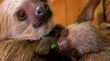 Zoo Atlanta welcomed a baby sloth in November 2019.