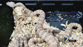 Deputies find several rattlesnakes, pot plants inside Canton home