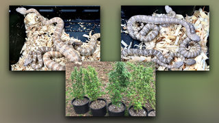 Deputies find several rattlesnakes, pot plants inside Canton home