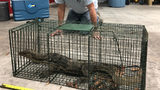 Florida wildlife officials catch massive, rarely-seen lizard