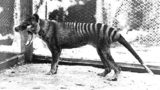 The Thylacine, called the Tasmanian Tiger or Tasmanian Wolf, was a large marsupial that is now almost certainly extinct. The female pictured here was the last one to be captured and died in the old Hobart Zoo, now closed, on September 7th, 1936.